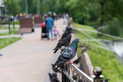 Pigeons in the park sit on the fence