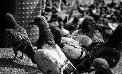 Pigeons in urban street, free birds, animals, landscape
