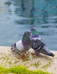 pigeons near water, birds, blue, way ,loving  ,love, grey ,lovely,cute ,nature, amazing, two, spring ,standing, stones, rainy, cloudy, outside, down, green, grass, dancing ,near, together