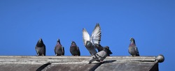 pigeons on a hot tin roof, sunny day, colorful pigeons in a row, old grey metal roof, perched pigeons, homing pigeon, blue sky, waiting,