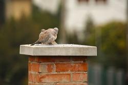 Pigeons on Chimney