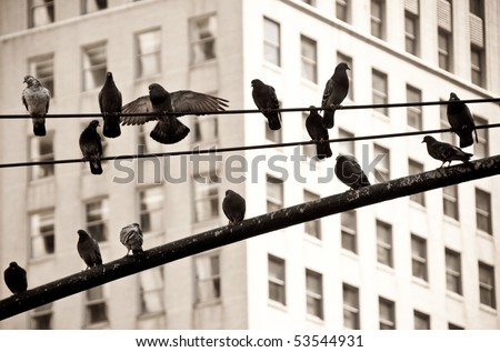 Pigeons on Electric Wire in New York City