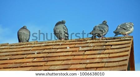 pigeons on roof  #1006638010