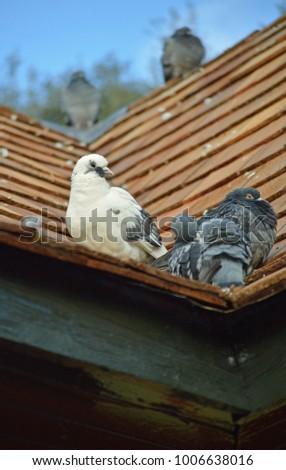 pigeons on roof  #1006638016