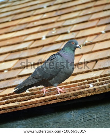 pigeons on roof  #1006638019