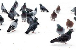 pigeons on snow