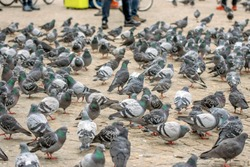 Pigeons On The Dam Square At Amsterdam The Netherlands 2019