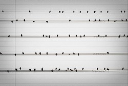 Pigeons on the electrical wires on old paper look like music notes