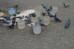 pigeons on the pavement. pigeons are drinking water. pigeons are feeding.