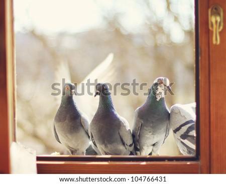 pigeons on the window