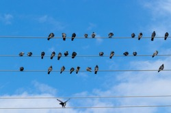 Pigeons perched on telephone wires with blue sky background