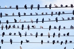 pigeons rest on cable line or electric wire on blue sky background