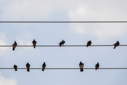 Pigeons rest on wires. Dove birds sitting on a power line
