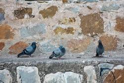 Pigeons resting  in Purana Qila building