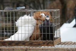 pigeons sit in a cage exhibition