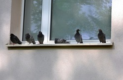 Pigeons sit on the windowsill by the window