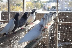 Pigeons sitting in rows neatly waiting for food.