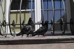 pigeons sitting in sun