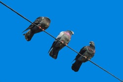 Pigeons sitting on the electric high-rise wire. Birds on the power line. Calm pigeon on electricity wire.Istanbul, Turkey.
