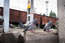 Pigeons sitting on the railway platform on background of freight train cars.