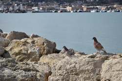 Pigeons with sea and rocks, with city in background