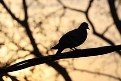 pigion a bird enjoying sun rise looking like a shadow