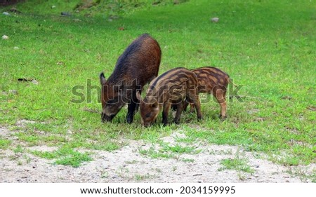 """Piglet and mother wild boar (Sus scrofa), also known as the """"wild swine"""",common wild pig"""" or simply """"wild pig""""is a suid native to much of Eurasia and North Africa, and was introduced to the Americas"""