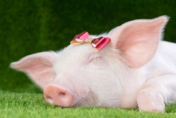 Piglet lies on green grass with a bow