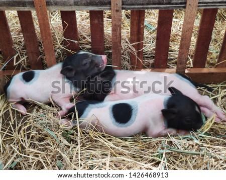 Piglet on farm,Piglet is sleeping,Piglet lying on a straw, #1426468913