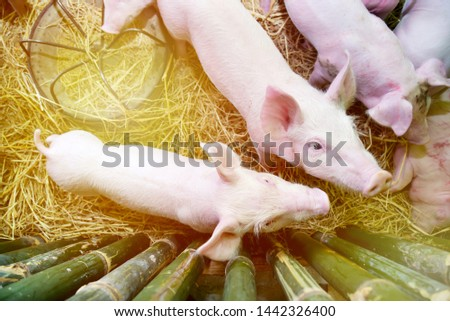 Piglets raised in pig farms.  Many piglets in the stall.  #1442326400
