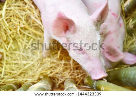 Piglets raised in pig farms.  Many piglets in the stall. #1444323539