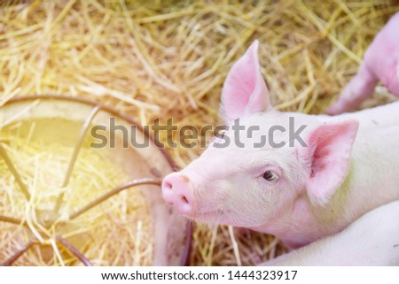 Piglets raised in pig farms.  Many piglets in the stall. #1444323917