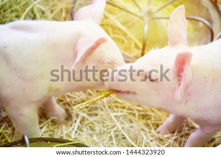 Piglets raised in pig farms.  Many piglets in the stall. #1444323920