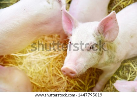 Piglets raised in pig farms.  Many piglets in the stall. #1447795019