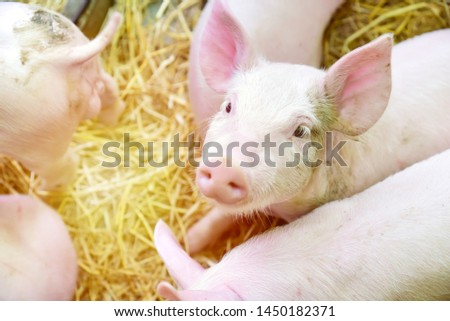 Piglets raised in pig farms.  Many piglets in the stall. #1450182371
