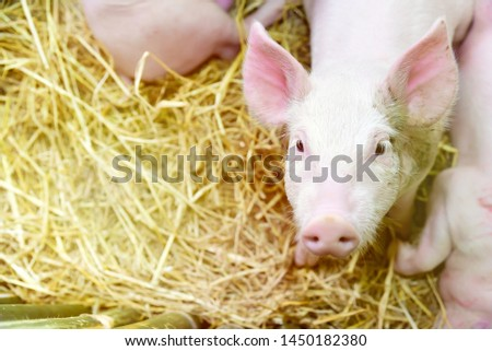 Piglets raised in pig farms.  Many piglets in the stall. #1450182380