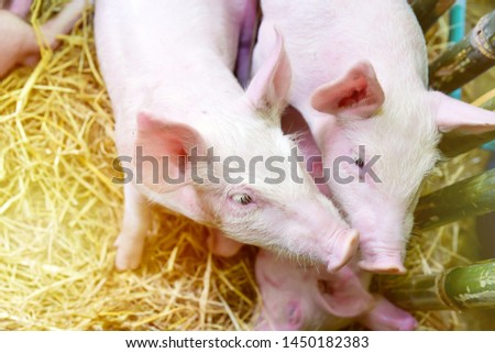Piglets raised in pig farms.  Many piglets in the stall. #1450182383