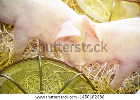 Piglets raised in pig farms.  Many piglets in the stall. #1450182386