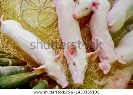 Piglets raised in pig farms.  Many piglets in the stall. #1450185101