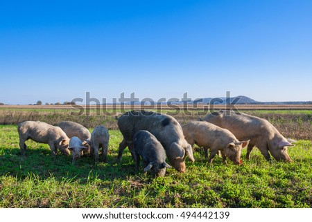 Pigs and piglets grazing in a field pasturage under blue sky. Natural organic agriculture. Farming. ストックフォト ©