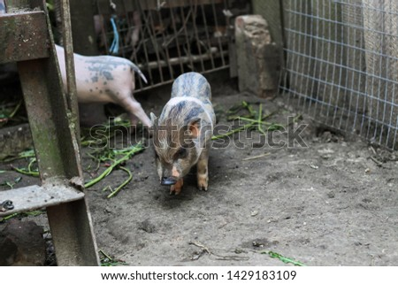 pigs are going to eat. Small piglet waiting feed in the farm . little piglets playing outdoors #1429183109