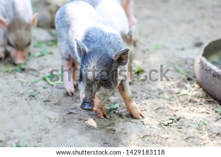 pigs are going to eat. Small piglet waiting feed in the farm . little piglets playing outdoors #1429183118