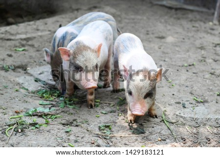 pigs are going to eat. Small piglet waiting feed in the farm . little piglets playing outdoors #1429183121