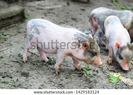 pigs are going to eat. Small piglet waiting feed in the farm . little piglets playing outdoors #1429183124