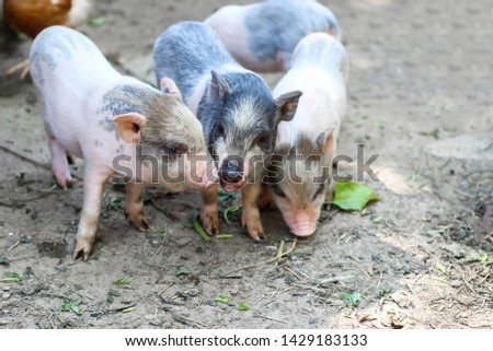pigs are going to eat. Small piglet waiting feed in the farm . little piglets playing outdoors #1429183133