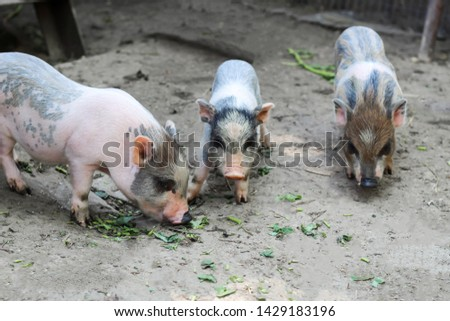 pigs are going to eat. Small piglet waiting feed in the farm . little piglets playing outdoors #1429183196