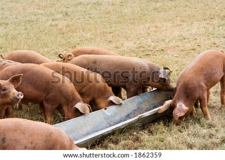 Pigs Feeding from a Trough