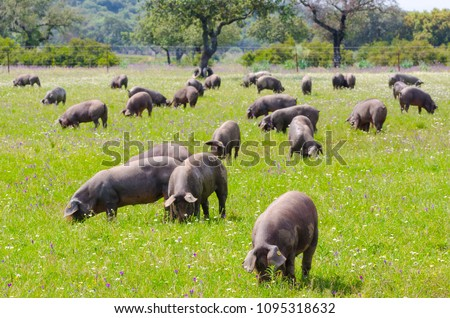 Pigs graze on farm in countryside of Badajoz, Extremadura. Copy space for text