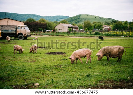 Pigs graze on farm in countryside of Georgia, Caucasus