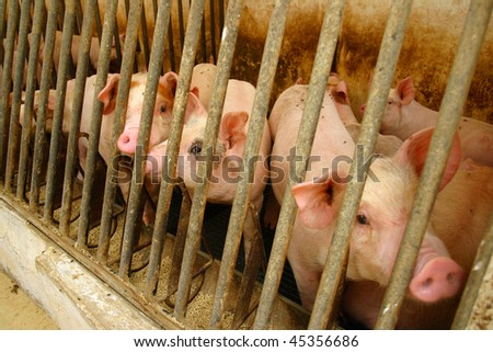 Pigs in a cage with their noses pointing towards the camera.
